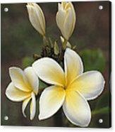 Close View Of Frangipani Flowers Acrylic Print