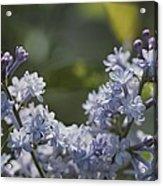 Close View Of Hyacinth Lilacs Syringa Acrylic Print