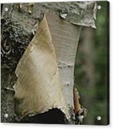 Close View Of Paper-birch Bark Acrylic Print