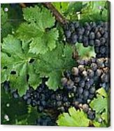 Close View Of Red Grapes On The Vine Acrylic Print
