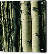 Close View Of Several Aspen Tree Trunks Acrylic Print