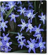 Close View Of Spring Flowers Acrylic Print