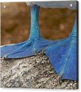 Close View Of The Feet Of A Blue-footed Acrylic Print by Tim Laman