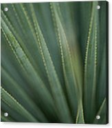 Close View Of The Leaves Of A Sotol Acrylic Print