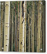 Close View Of Tree Trunks In A Stand Acrylic Print