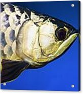 Closeup Of A Fish Acrylic Print