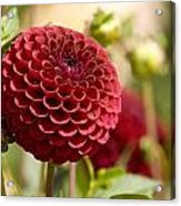 Closeup Of A Red Flower In Butchart Acrylic Print