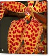 Closeup Of An Orchid, Renanthera Twin Acrylic Print