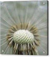 Closeup Of Dandelion Seed Head Acrylic Print