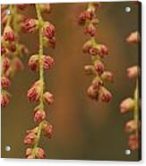 Closeup Of Pollen Tendrils Hanging Acrylic Print by Phil Schermeister
