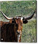 Closeup Of Texas Longhorn Acrylic Print
