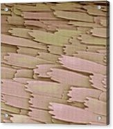 Clothes Moth Scales, Sem Acrylic Print