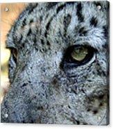 Clouded Leopard Face Acrylic Print