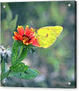 Clouded Sulphur Butterfly Square Acrylic Print