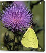 Cloudless Sulphur Butterfly Din159 Acrylic Print