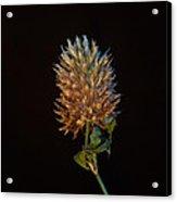 Clover Aglow 7 Acrylic Print