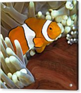 Clown Anemonefish In Anemone, Great Acrylic Print