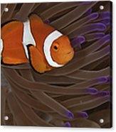 Clownfish In Purple Tip Anemone Acrylic Print