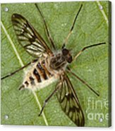 Cluster Fly Killed By Parasitic Fungus Acrylic Print