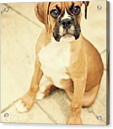 Clyde- Fawn Boxer Puppy Acrylic Print