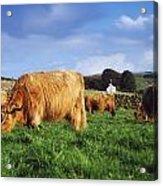 Co Antrim, Ireland Highland Cattle Acrylic Print