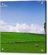Co Wicklow, Ireland Sheep Acrylic Print