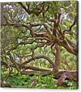 Coast Live Oak Acrylic Print