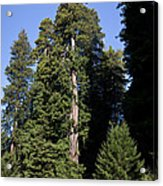 Coast Redwood Acrylic Print