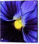 Cobalt Blue Pansy Acrylic Print
