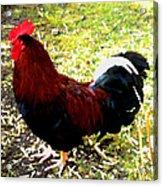 Cock Acrylic Print by Roberto Alamino