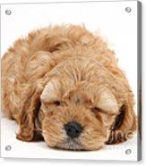 Cockapoo Pup Acrylic Print