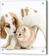 Cocker Spaniel And Kitten Acrylic Print
