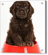 Cocker Spaniel Pup In Doggy Dish Acrylic Print by Mark Taylor