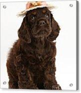 Cocker Spaniel Wearing A Hat Acrylic Print
