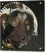 Coconut Octopus In Shell, North Acrylic Print