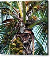 Coconut Palm Inflorescence Acrylic Print by Karon Melillo DeVega