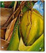 Coconuts Serie 2 Acrylic Print by Jose Romero