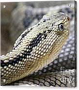 Coiled In Wait Acrylic Print