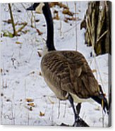 Cold Footed Goose On The Loose Acrylic Print