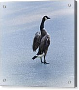 Cold Goose Dreams Acrylic Print