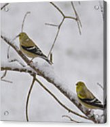 Cold Yellow Finch Walk Acrylic Print
