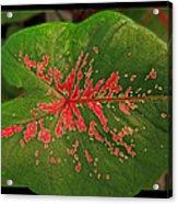 Colius Leaf Acrylic Print
