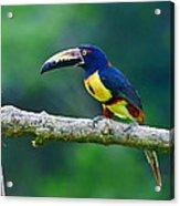 Collared Aracari Acrylic Print