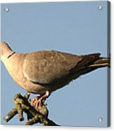 Collared Dove Acrylic Print