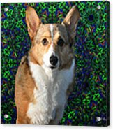 Collie Acrylic Print by Bill Cannon