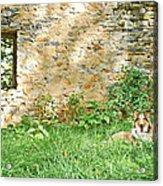 Collie Portrait Acrylic Print