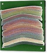 Colonial Diatom, Sem Acrylic Print