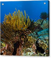 Colony Of Crinoids, Papua New Guinea Acrylic Print