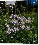 Colorado Blue Columbine At Lake Irwin Acrylic Print