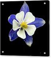 Colorado Columbine Acrylic Print by Darryl Gallegos